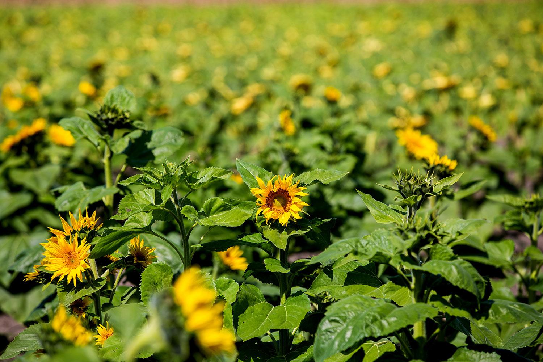 Kansas City Sunflowers / for the love of nike